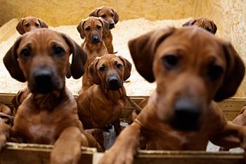 img-cs---german-dog-litter_092958200428
